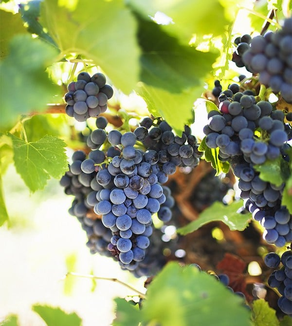 Red grapes on vine - does biodynamic viticulture make a difference?